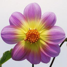 carol flower